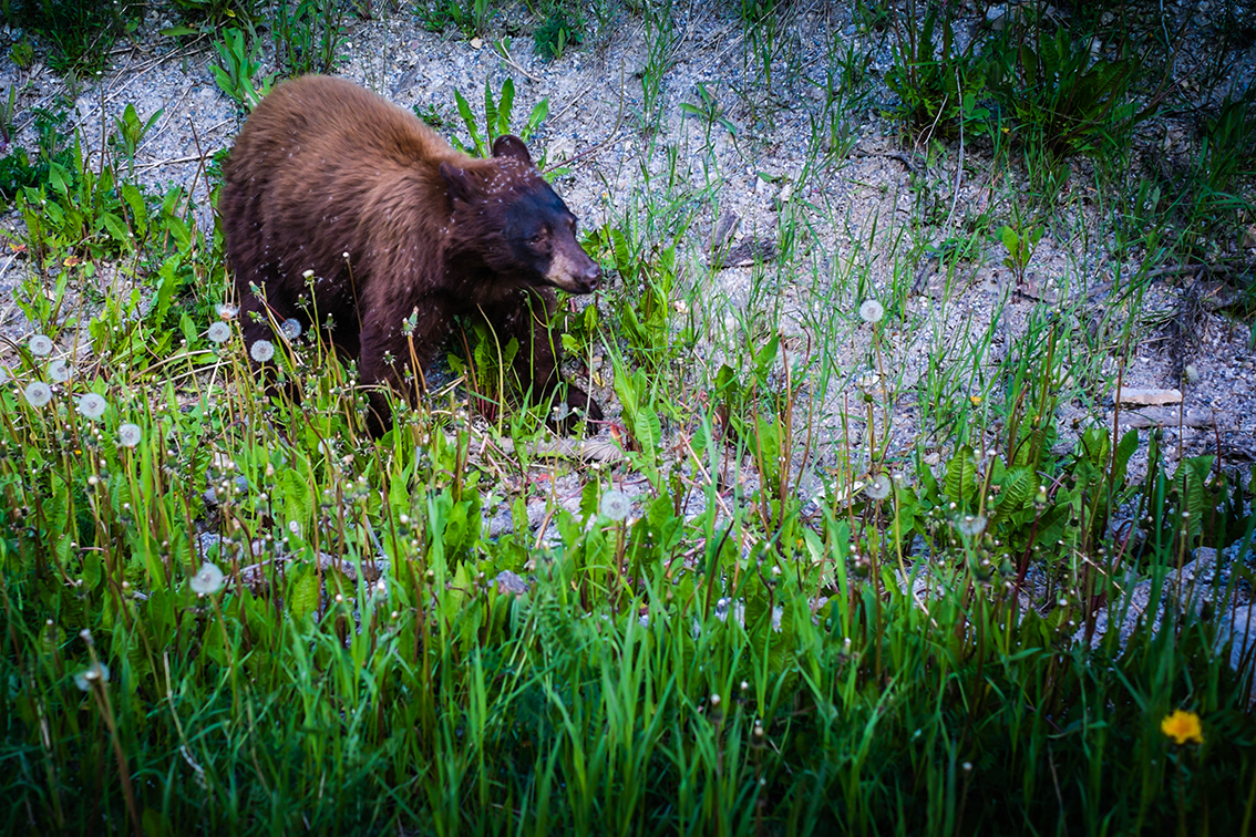 Brown Bear Canadian Rockies