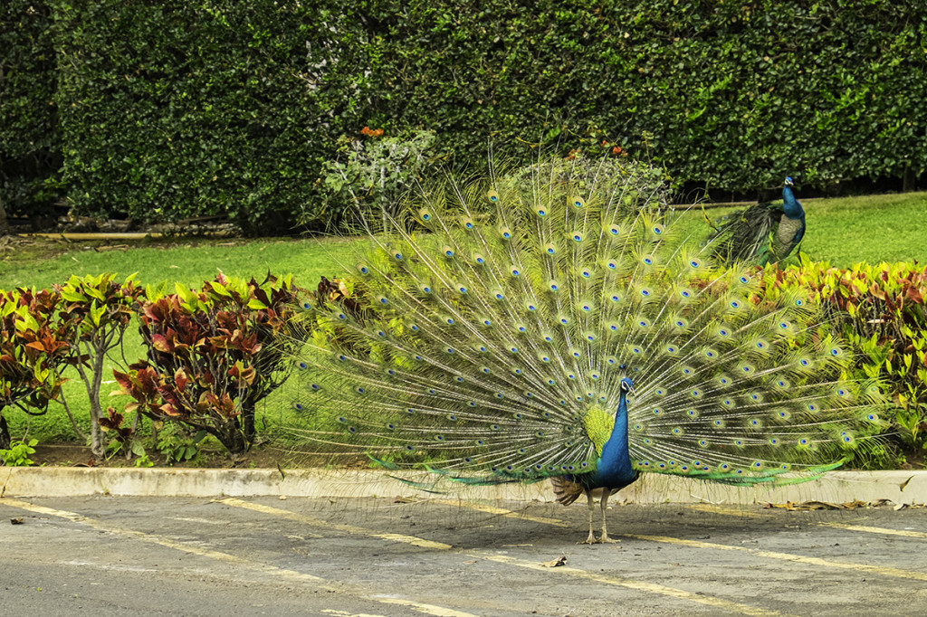 A Makaha Valley Towers resident peacock