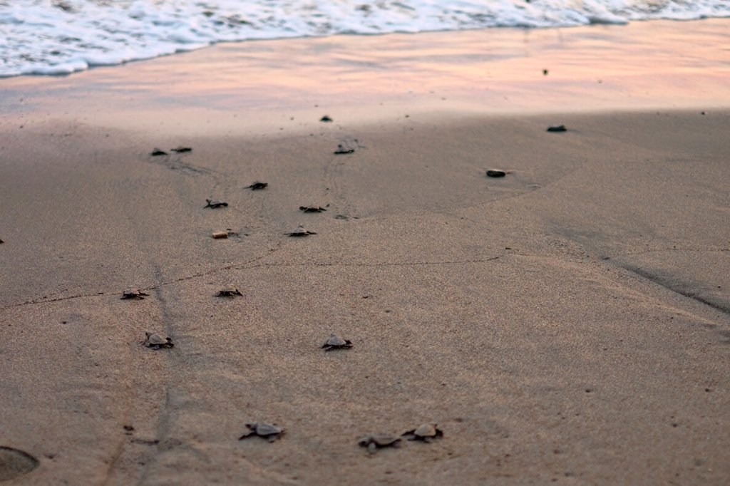 baby olive ridleys on the way to the sea- The best things to do in Puerto Vallarta with kids