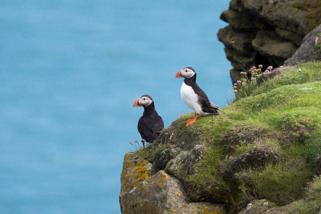things to do in Iceland- See puffins!