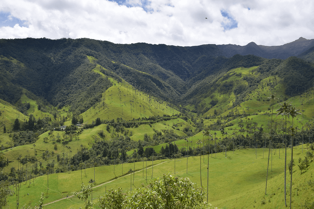 Valle de Cocora Wax Palms