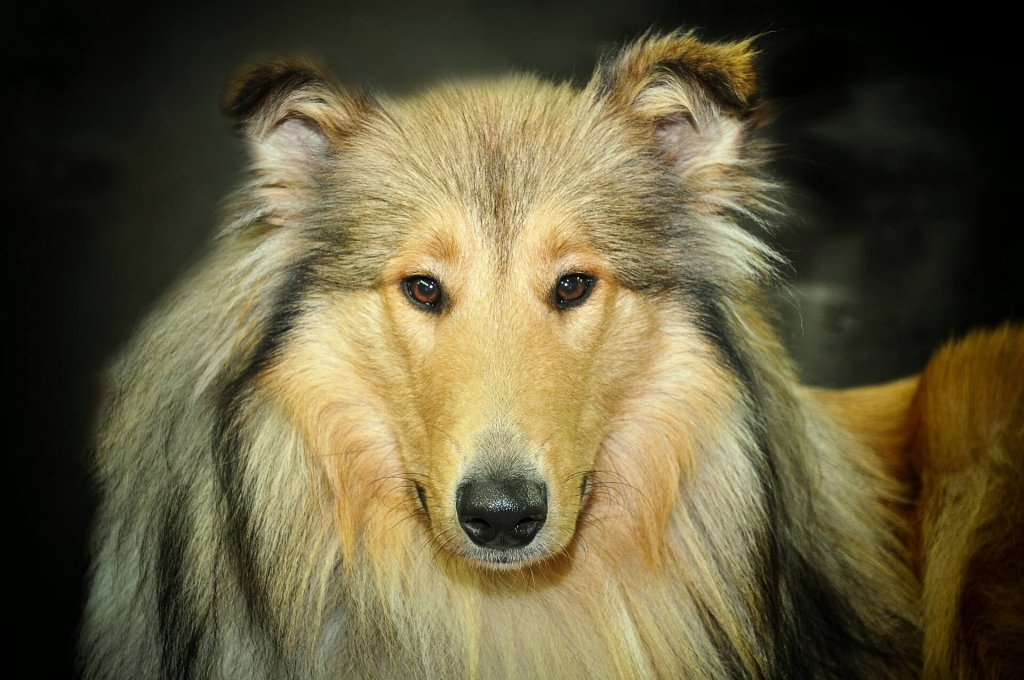 Dog training tips for house sitters- face of big long haired dog